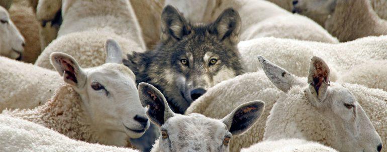 """""""Respectvolle dialoog"""": wolf in schaapskleren wil Zwarte Piet verorberen"""