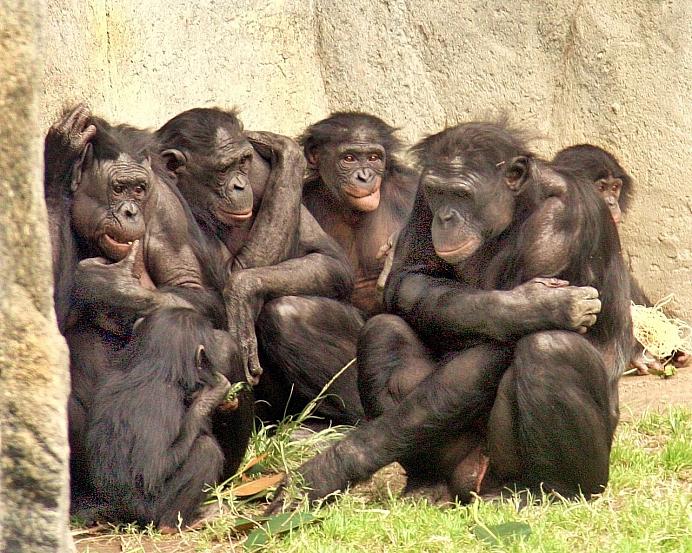 1280px 6 bonobos WH Calvin IMG 1341